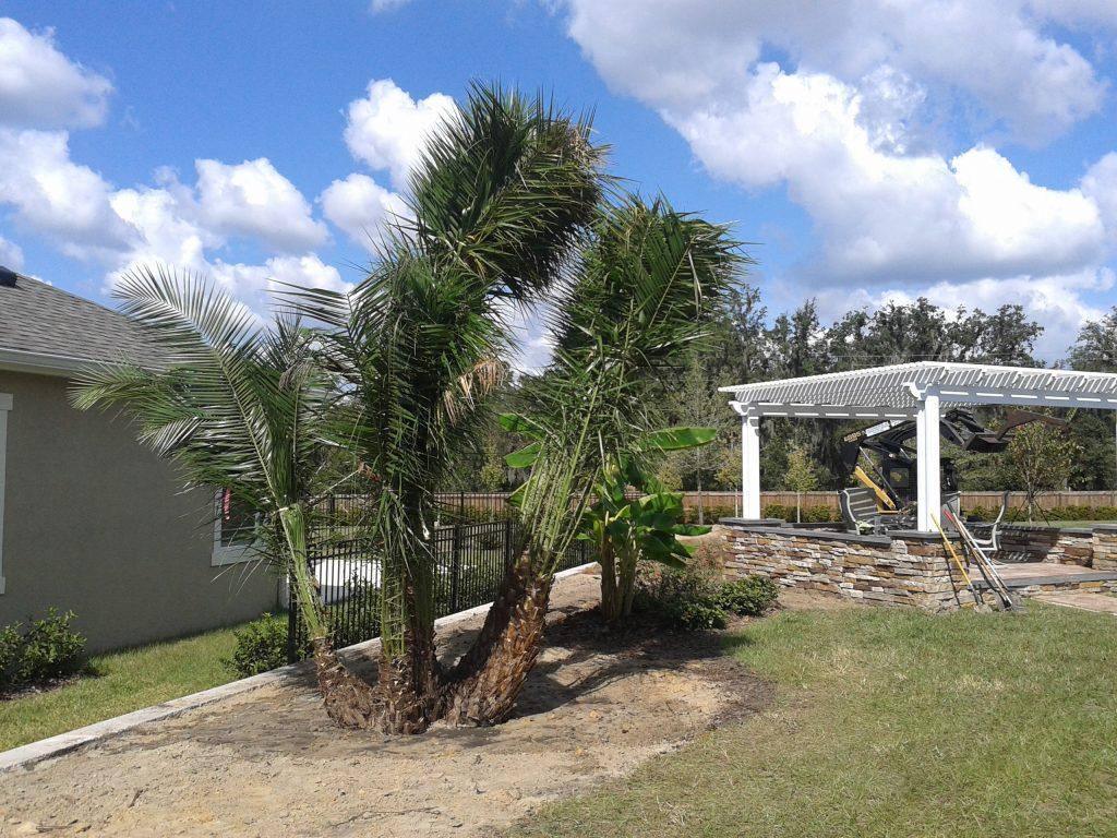 date palm tree installation sun environmental landscaping